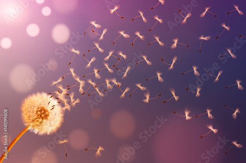 Dandelion in sunlight releasing seeds. Abstraction.