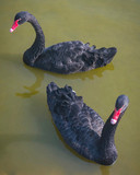 Two swimming black swans are on lake at daytime