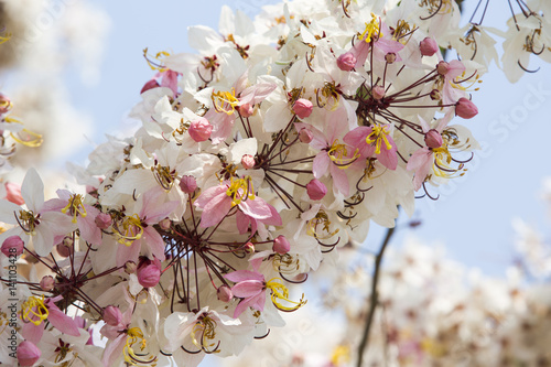 Poster Branches of blooming plentifully tree, Wishihng tree, Cassia bakeriana Craib