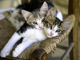 Two Kittens on a chair. Cyprus