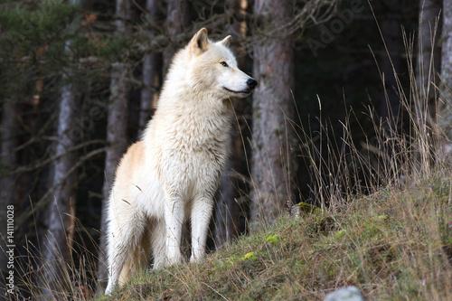 American Wolfdog Poster