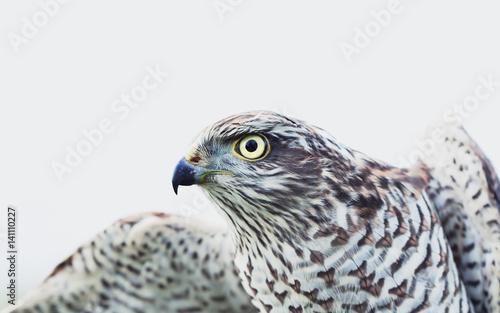 Sparrow Hawk (Accipiter nisus) © mycteria