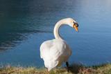 The swan's glaze