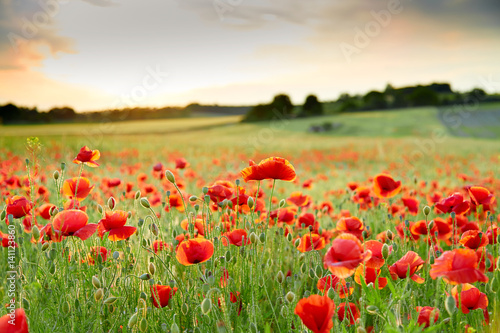 Fotobehang Klaprozen Wonderfull Close up of poppy field