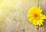 Yellow gerbera close-up (Toning)