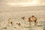 Camels in Judean desert near the Dead sea