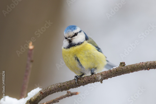 mesange-bleue-curieuse-sur-une-branche