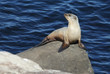 Baby California Sea Lion in La Jolla Cove, California