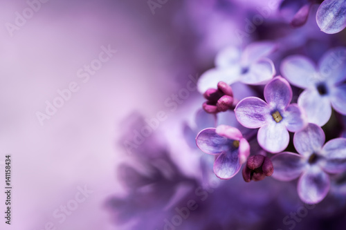 Sticker Lilac flowers spring blossom background