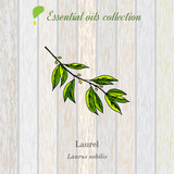 laurel, essential oil label, aromatic plant - 141175659