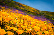 Quadro California poppies and wildflowers color the mountains during superbloom in southern California.