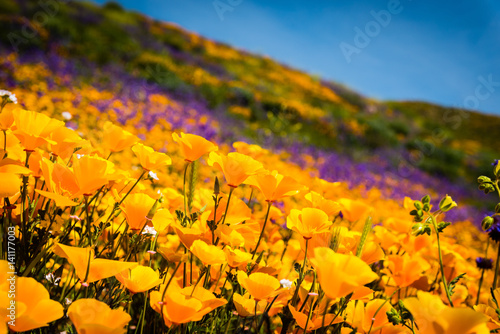 Plakat California poppies and wildflowers color the mountains during superbloom in southern California