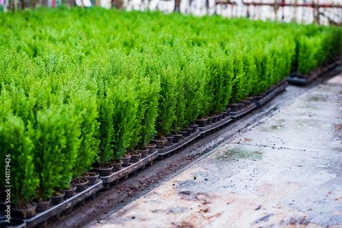 szkółka drzew iglaki uprawa