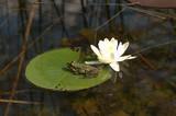 Wasserfrosch mit Seerose