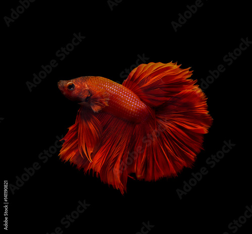 fighting fish isolated on black background Poster