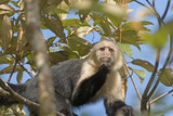 White face monkey in a Tree