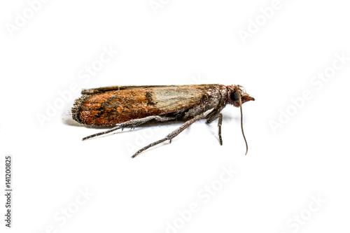 Cloth moth macro