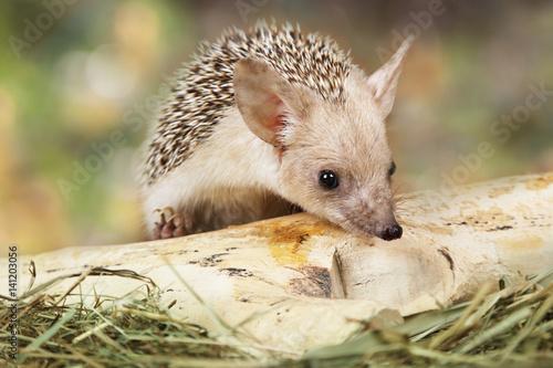 African hedgehog outdoors