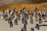 Colony of African penguins (Spheniscus demersus), Western Cape, South Africa .