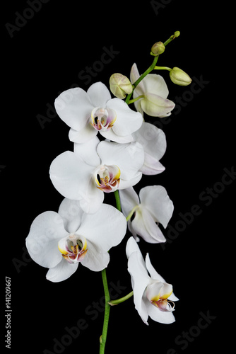 White Orchid on a black background - 141209667