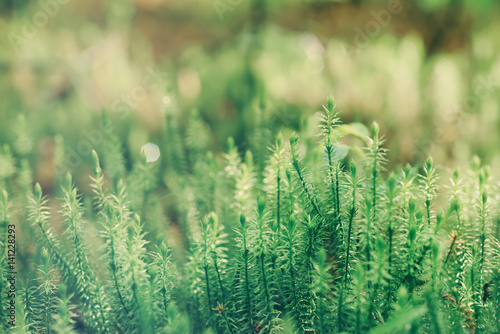 Abstract natural background with green moss in the forest. Seasonal spring eco concept - 141228293