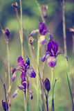 Wild violet iris flower growing in nature, summer seasonal floral hipster background