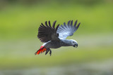 African grey parrot flying on green background