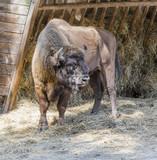 European bison - European wood biso