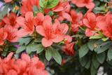 Куст азалии расцвел красивыми и нежеыми цветами - 141282827