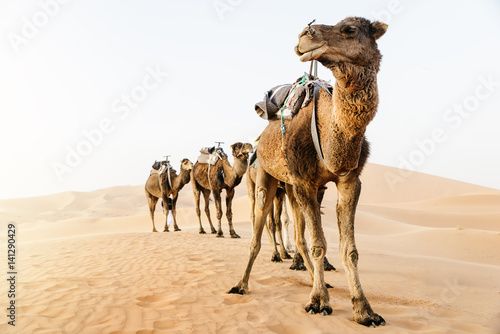 Fotobehang Kameel Sahara desert dromedary. Morocco.