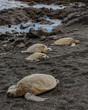 Endangered Green Hawaiian Sea Turtles Nesting on the Beach in Hawaii