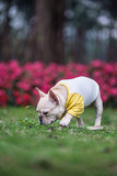 The French Bulldog in outdoor grass