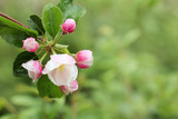 wet fruit tree flowers in spring/ Apple branch with flowering white pink buds, with rain drops