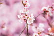The winter cherry blossoms.