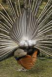 Peafowls rump
