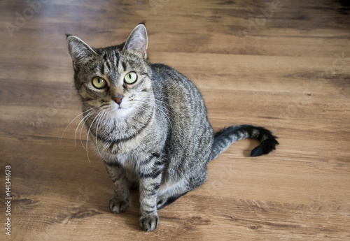 striped cat looking into eyes on wooden floor, full size, eye contact