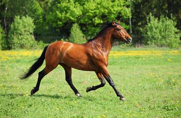 Thoroughbred horse stallion runs through tall grass field