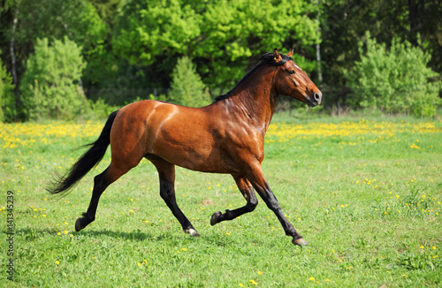 tall grass field yellow thoroughbred horse stallion runs through tall grass field buy