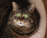 Round tabby cat with big green eyes looking up