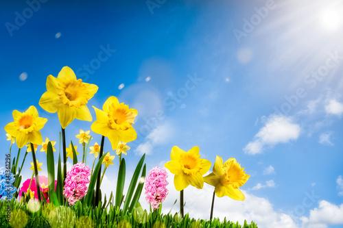 Bunte Osterglocken auf einer Wiese im Frühling
