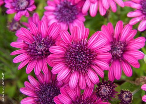 Foto op Canvas Azalea Purple pink bright magenta daisy flowers with green leaves.