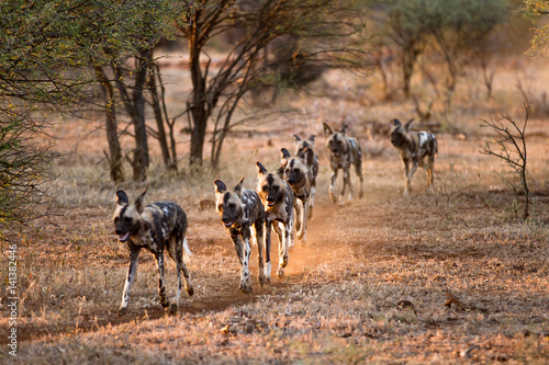 Poster Wild dogs Hunting