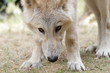 American Wolfdog, Wolf and animals