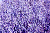 abstract luish-lilac texture from plants - 141413801