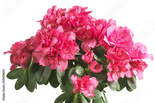 Fotobehang Azalea Blooming pink azalea