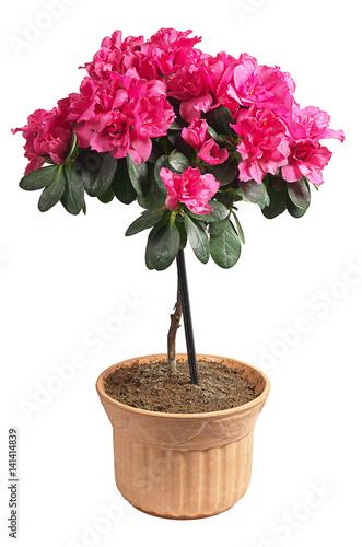 Fotobehang Azalea Azalea in a pot