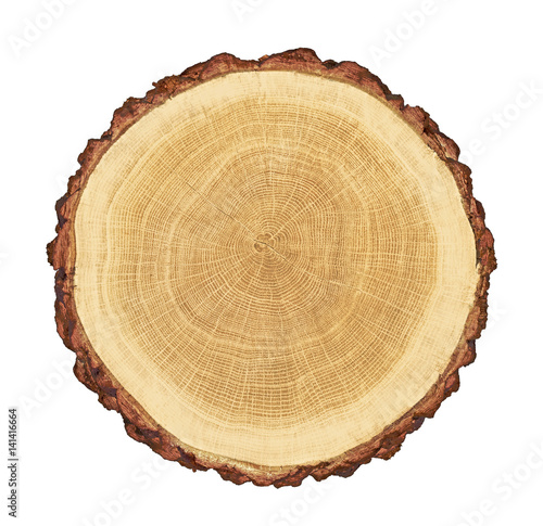 smooth cross section brown tree stump slice with age rings cut fresh from the forest with wood grain isolated on white - 141416664