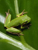 Squirrel Tree Frog on Cut Leaf Philodendron