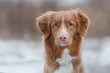 Nova Scotia Duck Tolling Retriever dog on nature in the forest