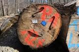 Holzwirtschaft: Gefällte Schwarznuss-Stämme (Juglans nigra), vorbereitet zum Abtransport